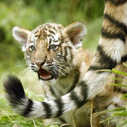 A male Amur tiger cub is seen Tuesday at Salt Lake's Hogle Zoo. Three cubs were born to parents Basha and Kazek on June 2.