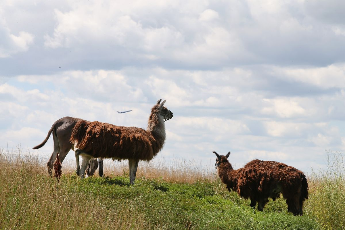 Grazing Animals Brought In To Trim Field At O'Hare Airport