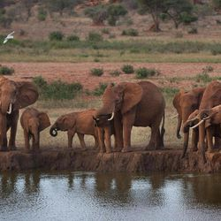 In this photo taken Sunday, March 25, 2012, elephants gather at dusk to drink at a watering hole in Tsavo East National Park, Kenya. Seeing a dire situation grow worse, the animal conservation group the World Wildlife Fund (WWF) enlisted religious leaders on Thursday, Sept. 20, 2012 in the fight to end the slaughter of Africa's elephants and rhinos by poachers, hoping that religion can help save some of the world's most majestic animals.