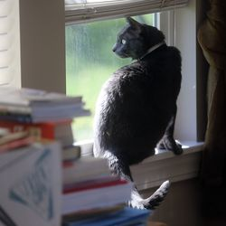 Bleau le Beare, who was rescued by Bonney and Doug Thom, looks out the window at their home in Draper on Monday, July 13, 2020. Salt Lake and Washington counties are not accepting stray cats unless they're hurt or obviously abandoned.
