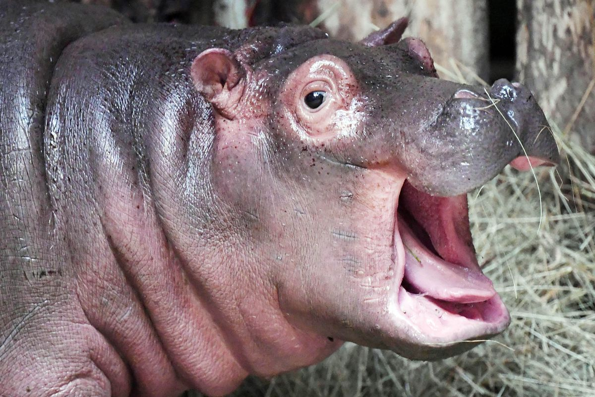 """Baby hippopotamus """"Halloween"""" is pictured on December 6, 2019 at the zoo in Karlsruhe, southern Germany. - """"Halloween"""" was born at the zoo on October 31, 2019 - therefore resulting his name."""