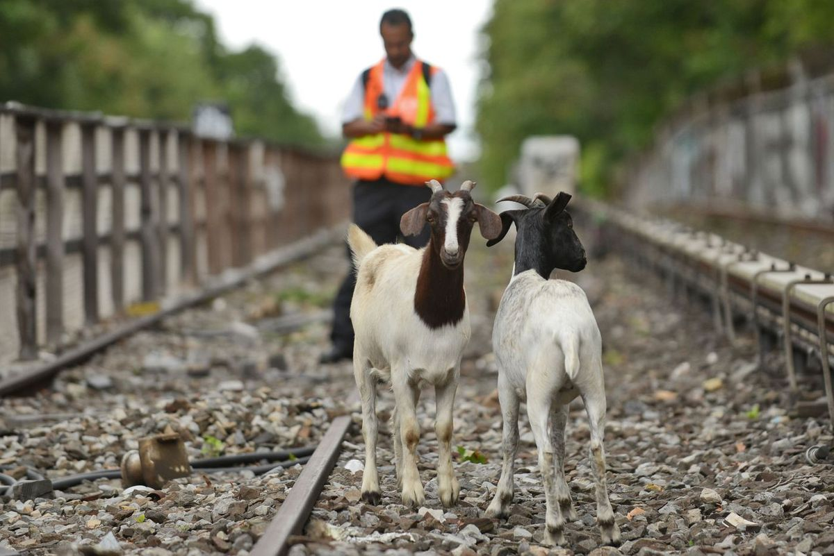 Two goats wandered onto the N line tracks in Brooklyn in August, 2018.