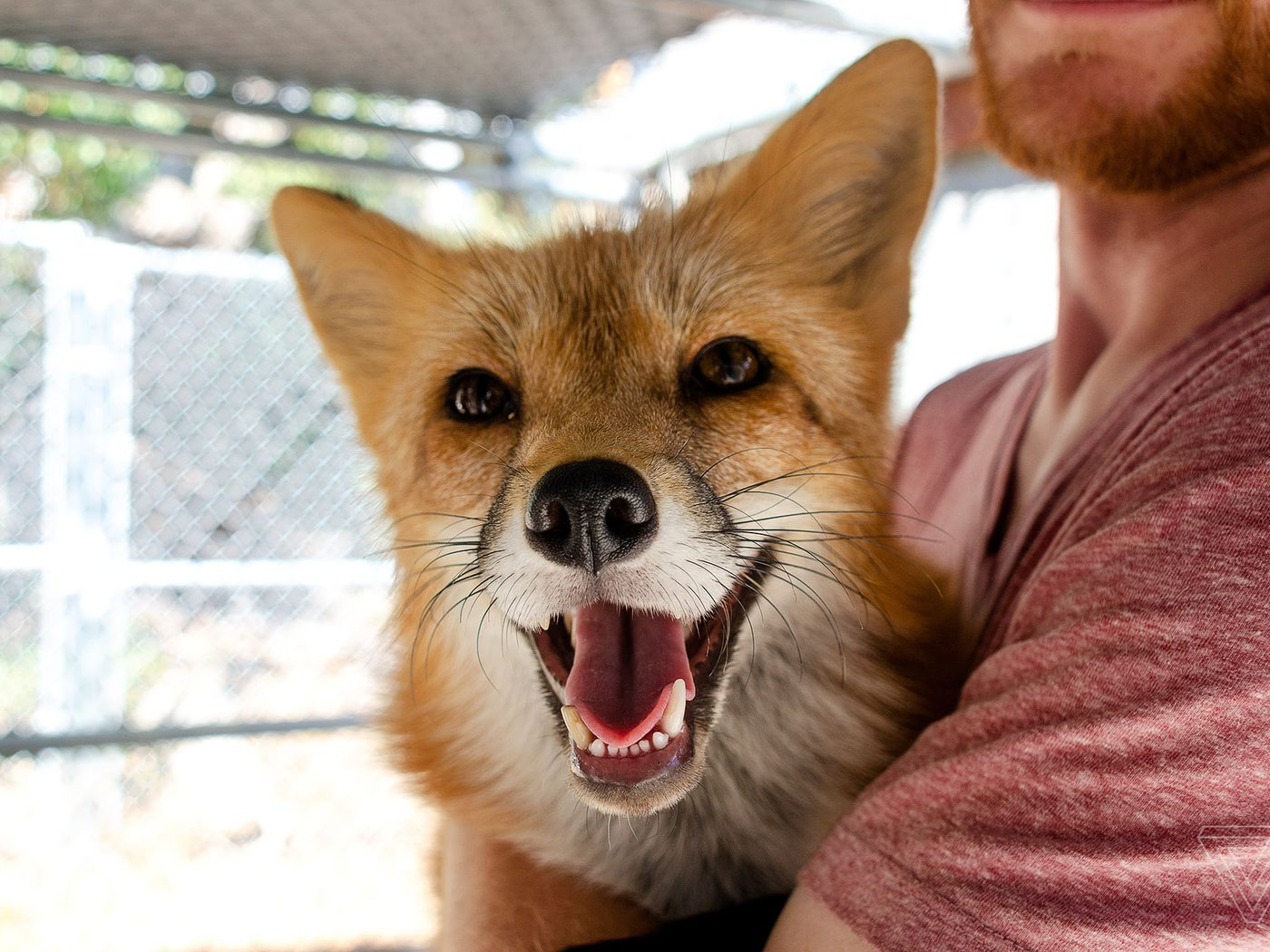 These Domesticated Foxes Were 60 Years In The Making The Verge