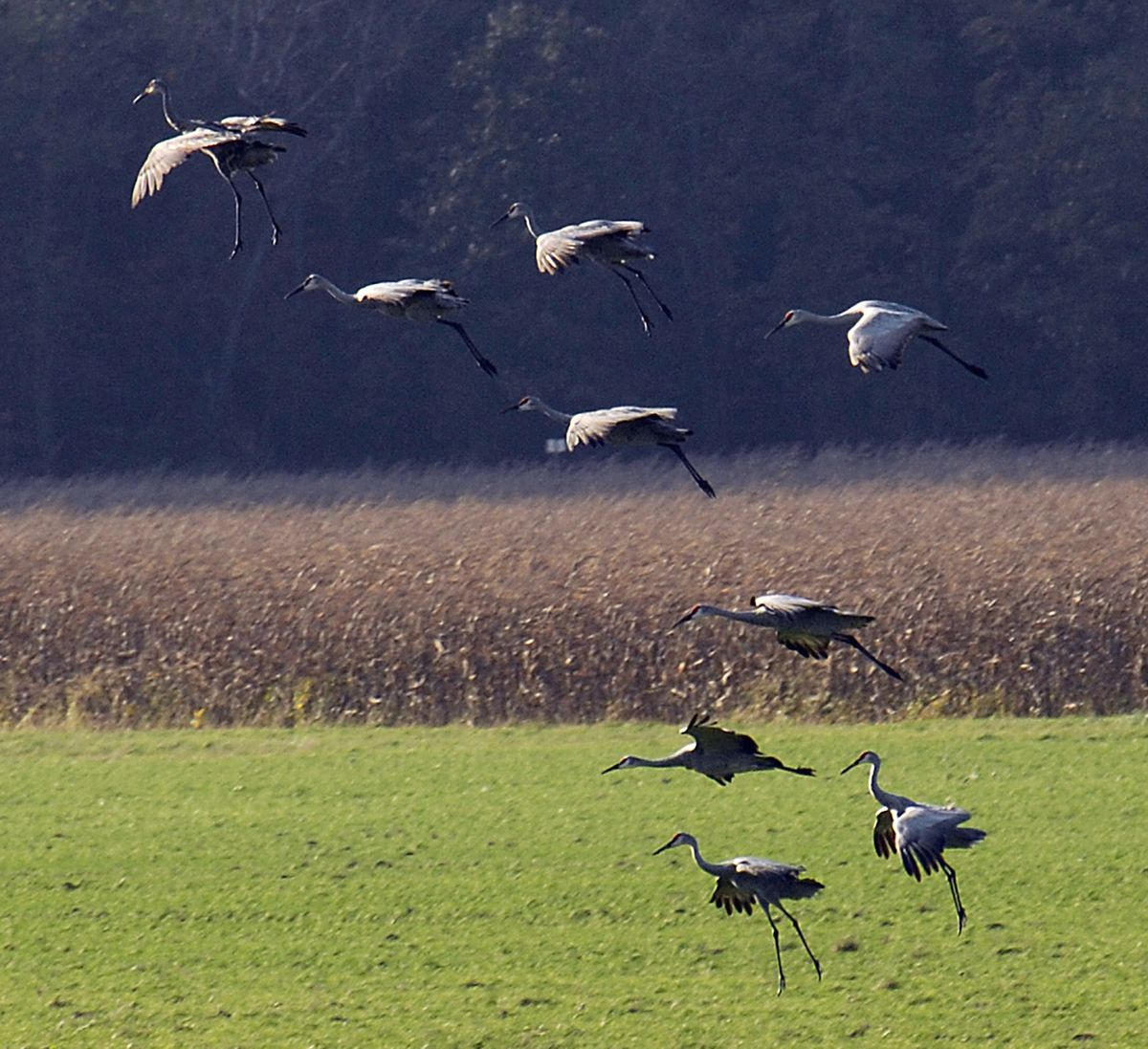 Sandhill cranes at the Jasper-Pulaski Fish & Wildlife Area in northern Indiana, a popular stop for the migratory birds.