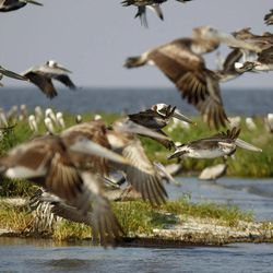 Nesting pelicans fly on Cat Island, which has eroded greatly since he Deepwater Horizon oil spill, in Barataria Bay in Plaquemines Parish, La., Wednesday, April 11, 2012.