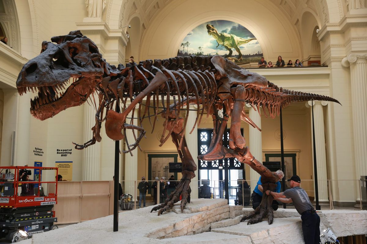 Field Museum Begins To Move Sue The T Rex Photos