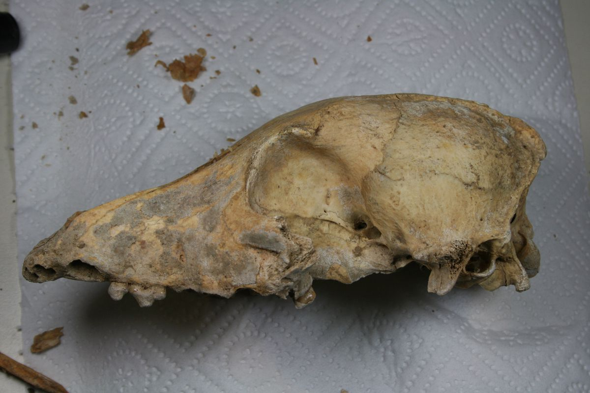 Prehistoric fossils suggest modern dogs evolved from a