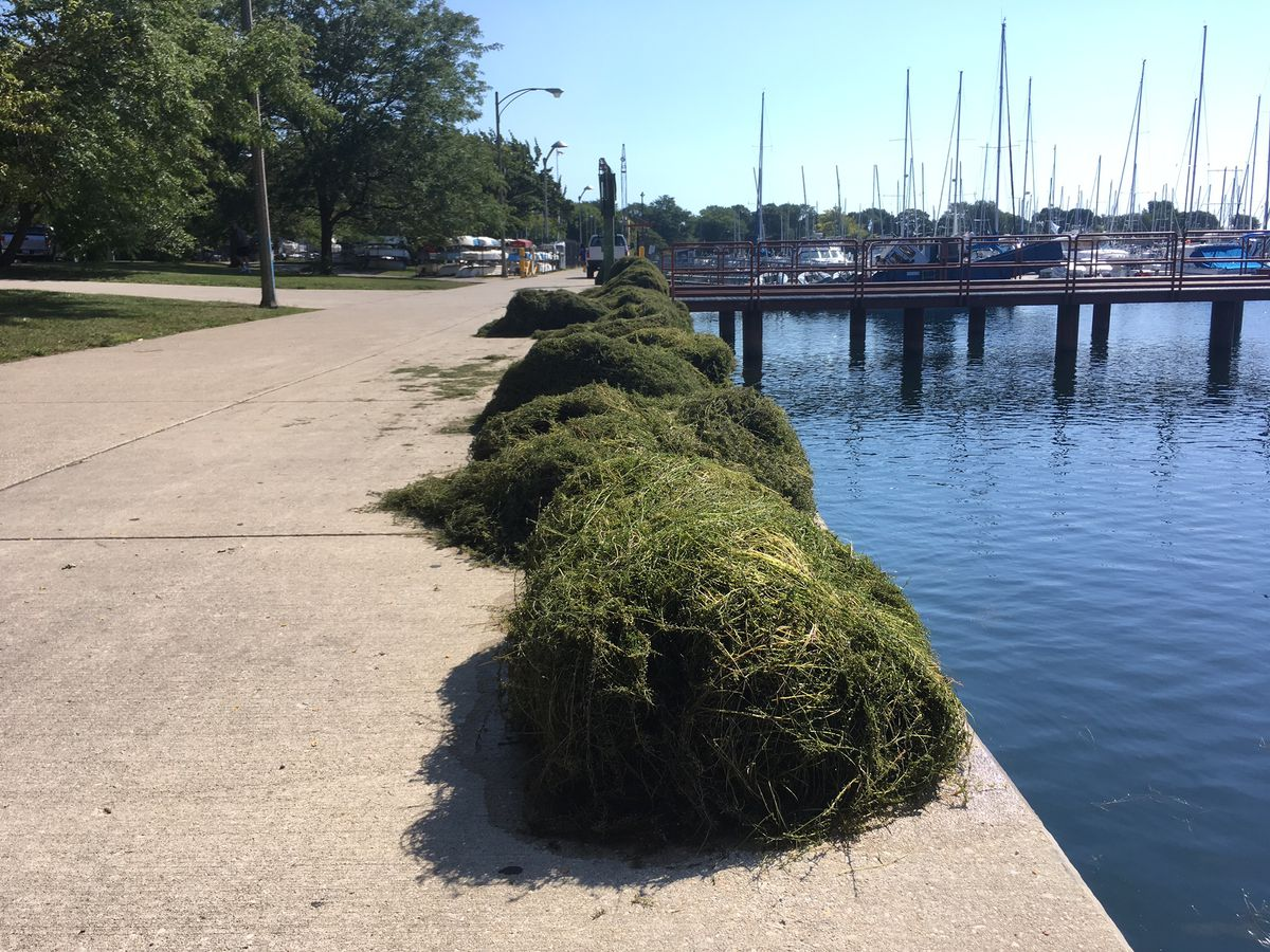 Weeds piled up Wednesday at Montrose Harbor. Some boaters say the growth, which has taken over large areas of the harbor, is the worst in recent memory, making it difficult for boaters to get their boats out of the harbor.   Stefano Esposito   Sun-Times