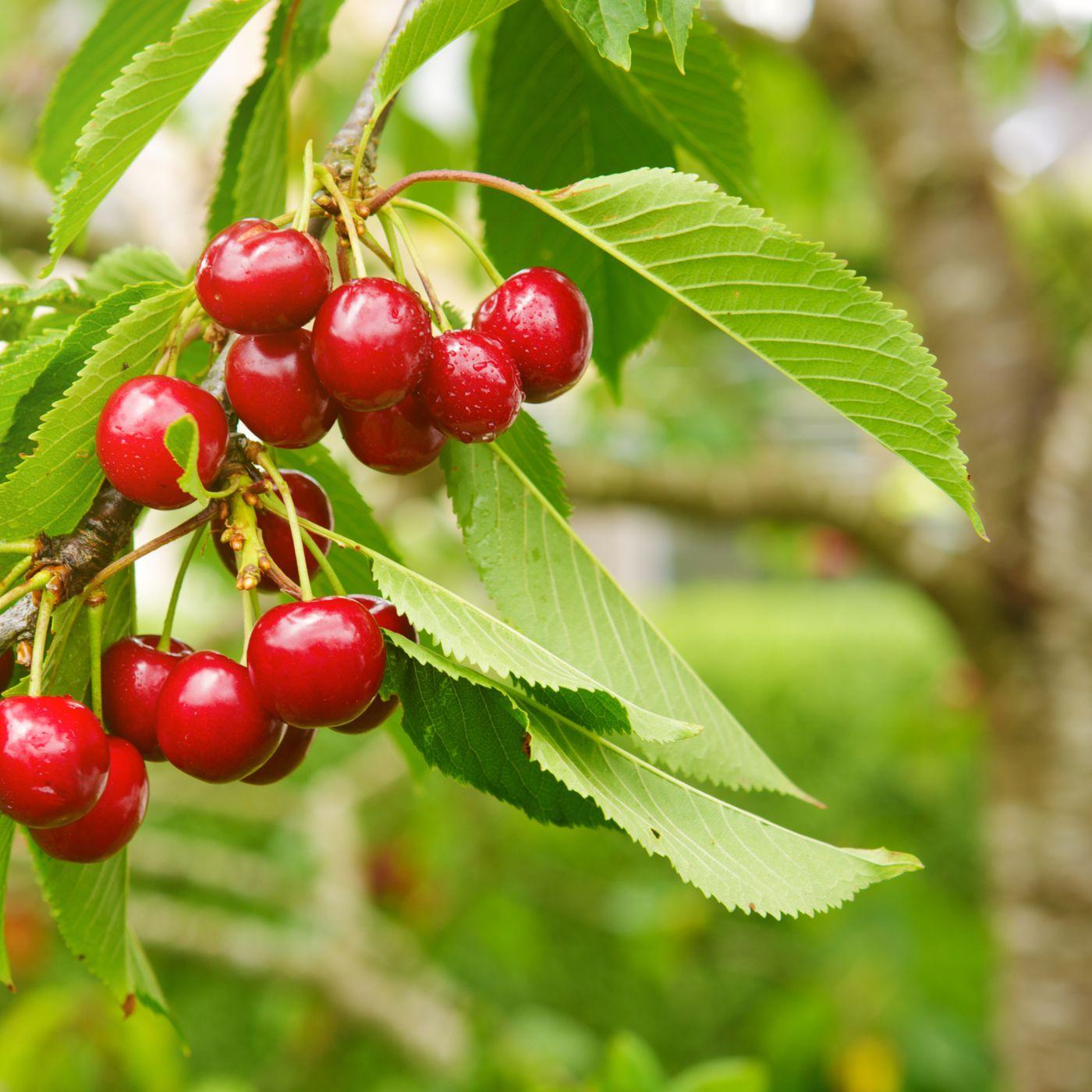 10 DWARF BLACK  CHERRY TREES SEEDS FLOWERING FRUIT TREES  SWEET CHERIES