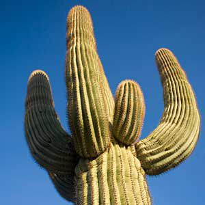 <p>Saguaro, a cactus of the Mojave and Sonoran Deserts</p>