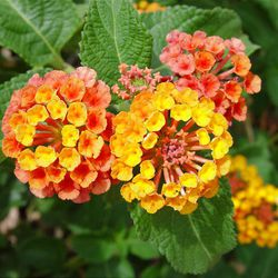 The yellow-and-orange color combination is the most common and illustrates how each flower changes color as it matures.