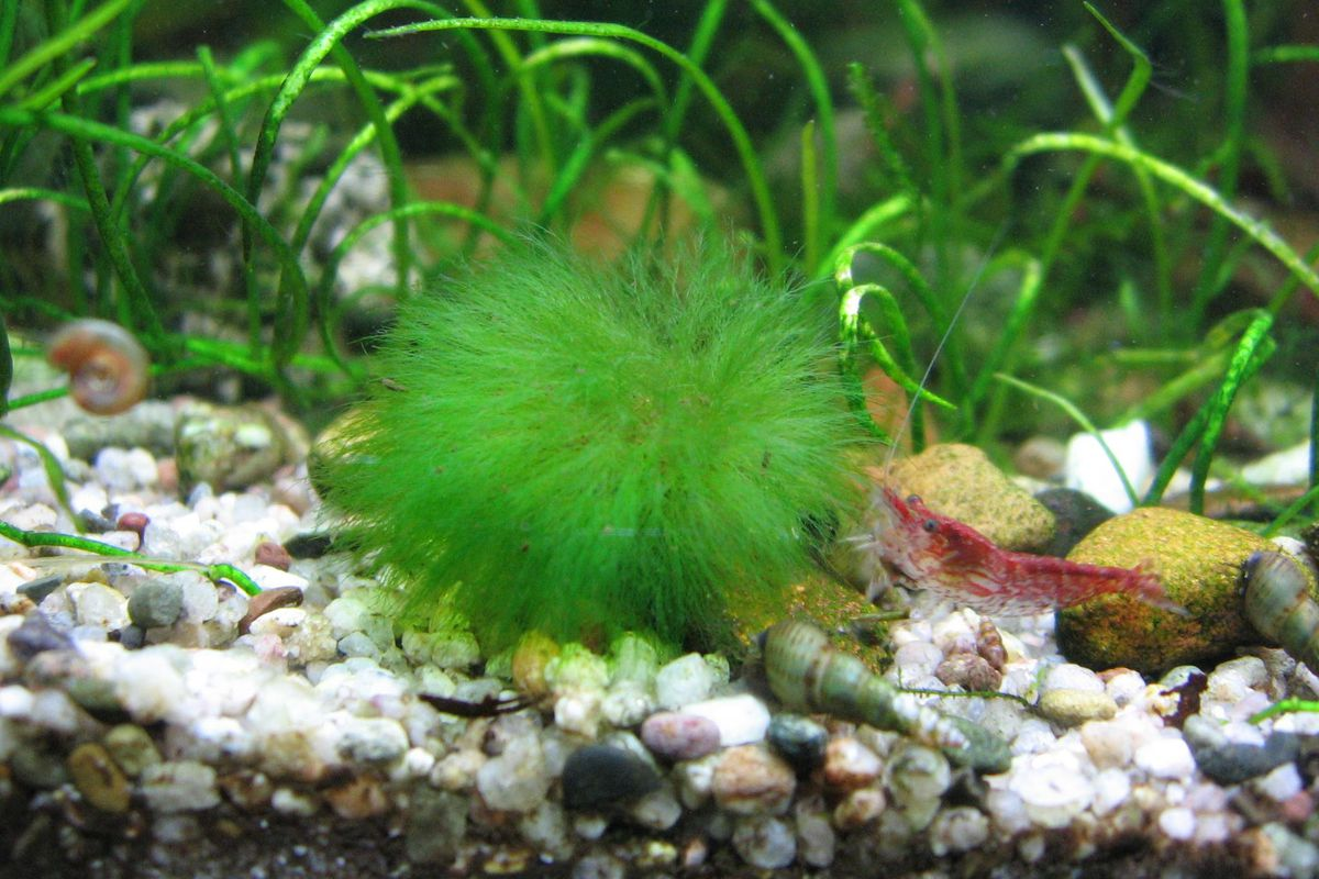 Marimo Moss Balls What Are These Adorable Plant Pets Curbed