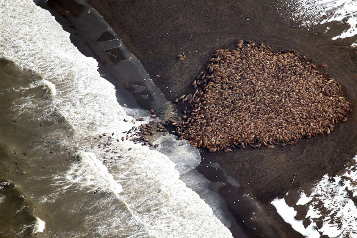 New images captured by NOAA aerial surveys of the Alaska coast on September 27 show an estimated 35,000 walruses ashore near Point Lay.