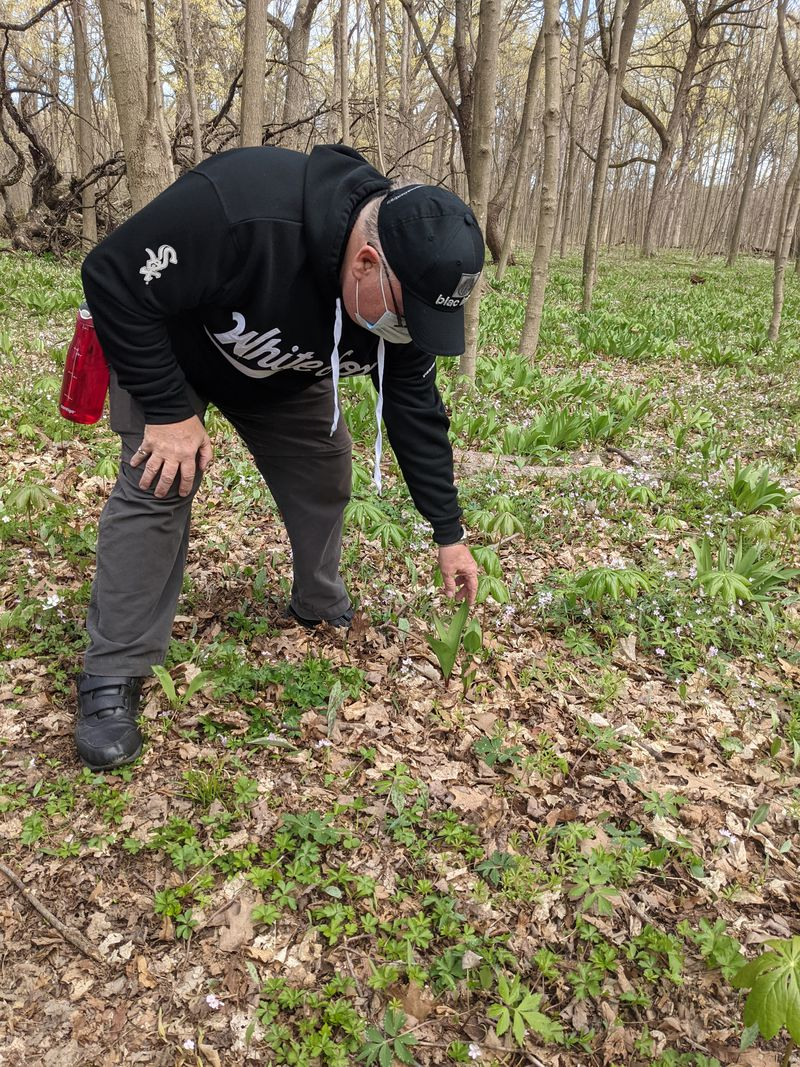 Sizing up mayapples last weekend while wandering around sorta looking for morels mushrooms. Credit: Dale Bowman