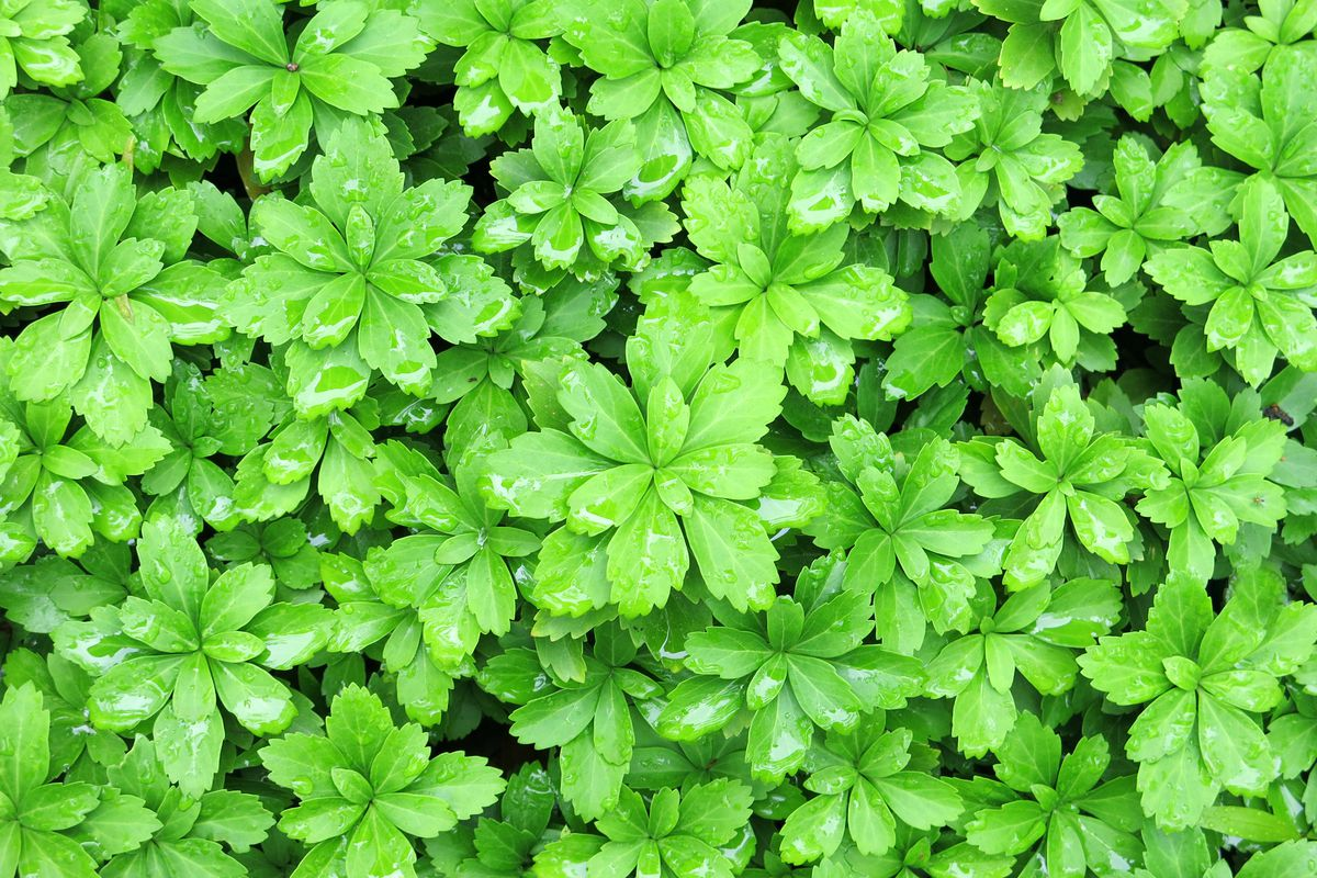 Windcliff Fragrant Pachysandra