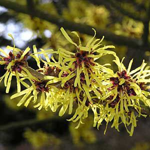 Witch hazel, a landscape shrub of the eastern deciduous forests.