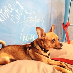 """In between protecting the inventory from any would-be shoe thieves and cats, Wrigley enjoys relaxing on his doggie bed, posing with the """"store cat"""" Roger, and charming shoppers with his underbite."""