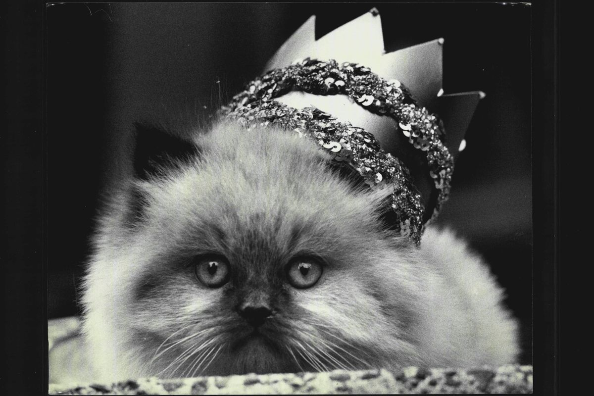 The largest cat show in the southern hemisphere will be held at the Sydney Town Hall this weekend Sat and Sun. 28th/29th June.More than 1,000 cats will be on show on Saturday and 600 on Sunday.8 week old Lord Pip (nickname Paddles) a Seal Point Himalayan