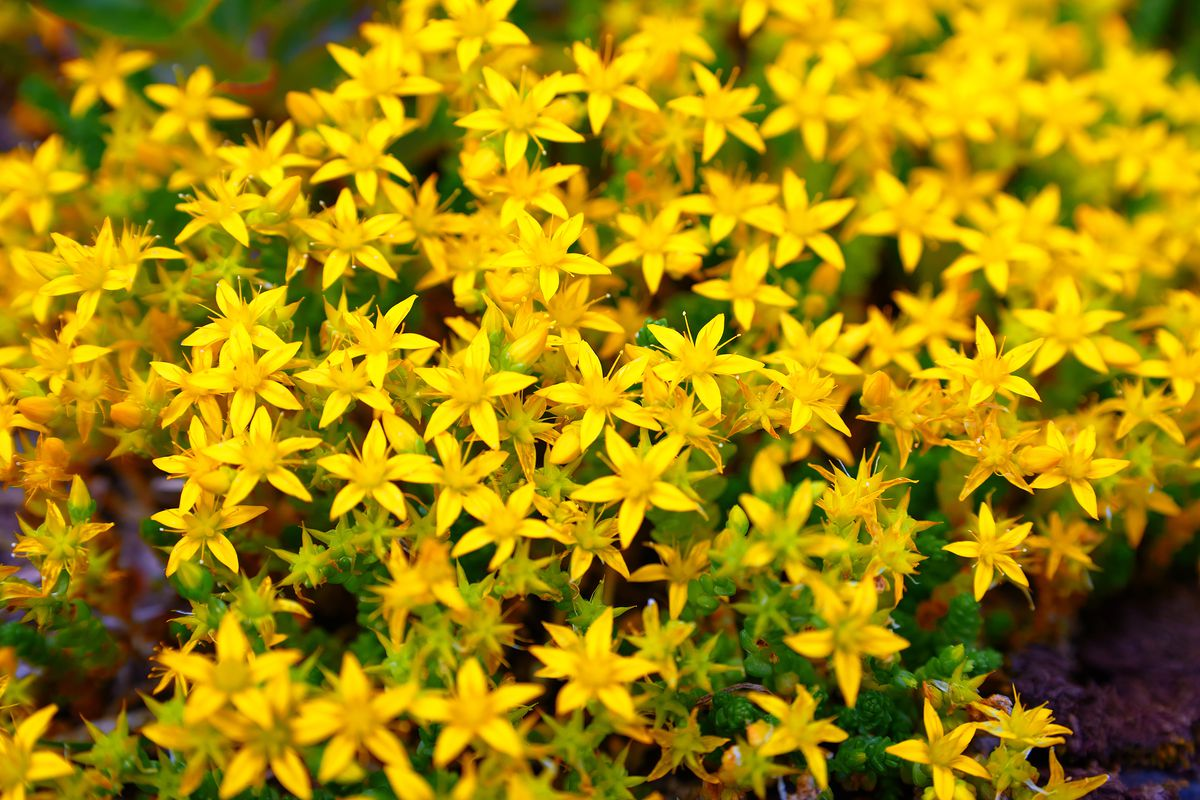 """The name St. John's Wort originates from a flowering shrub with yellow flowers, which blooms in late June, around St. John the Baptist's Feast Day. """"Wort"""" is an Old English word for a plant or herb used as food or medicinally."""