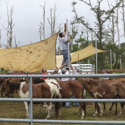 Volunteers with the Saltwater Cowboys build sunshades for wild ponies and foals of the northern herd as they rest in pens on Assateague Island, Va., after being gathered and given a vet check before their swim to Chincoteague Island on Tuesday, July 23, 2019.