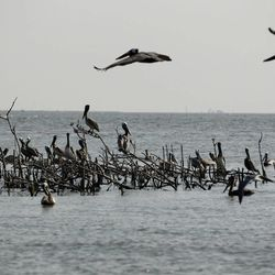 Pelicans are seen sitting on dead mangrove where they formerly nested, on Cat Island, which has eroded significantly since the Deepwater Horizon oil spill in Barataria Bay in Plaquemines Parish, La., Wednesday, April 11, 2012.