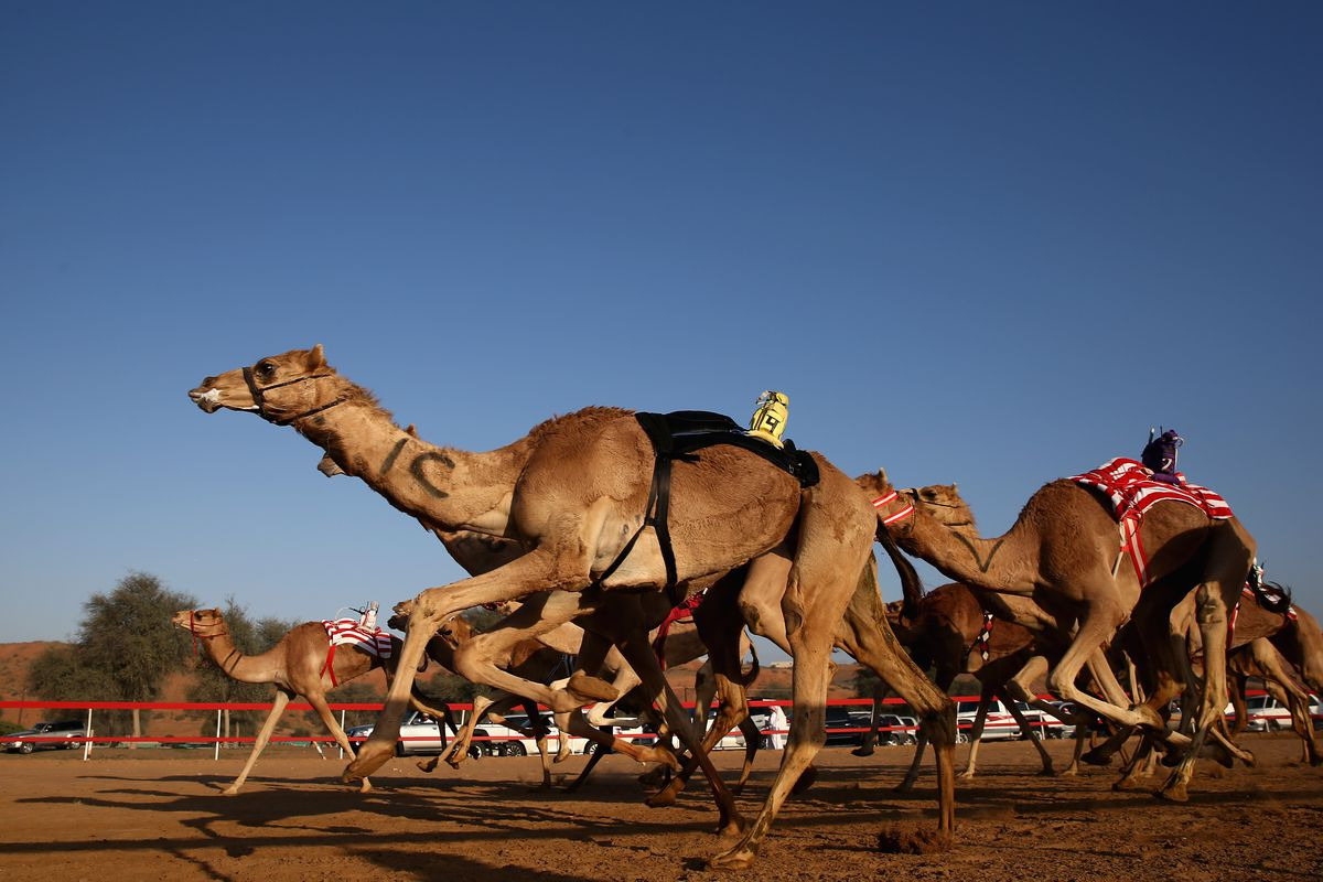 Camel Racing at Al Sawan Race Track
