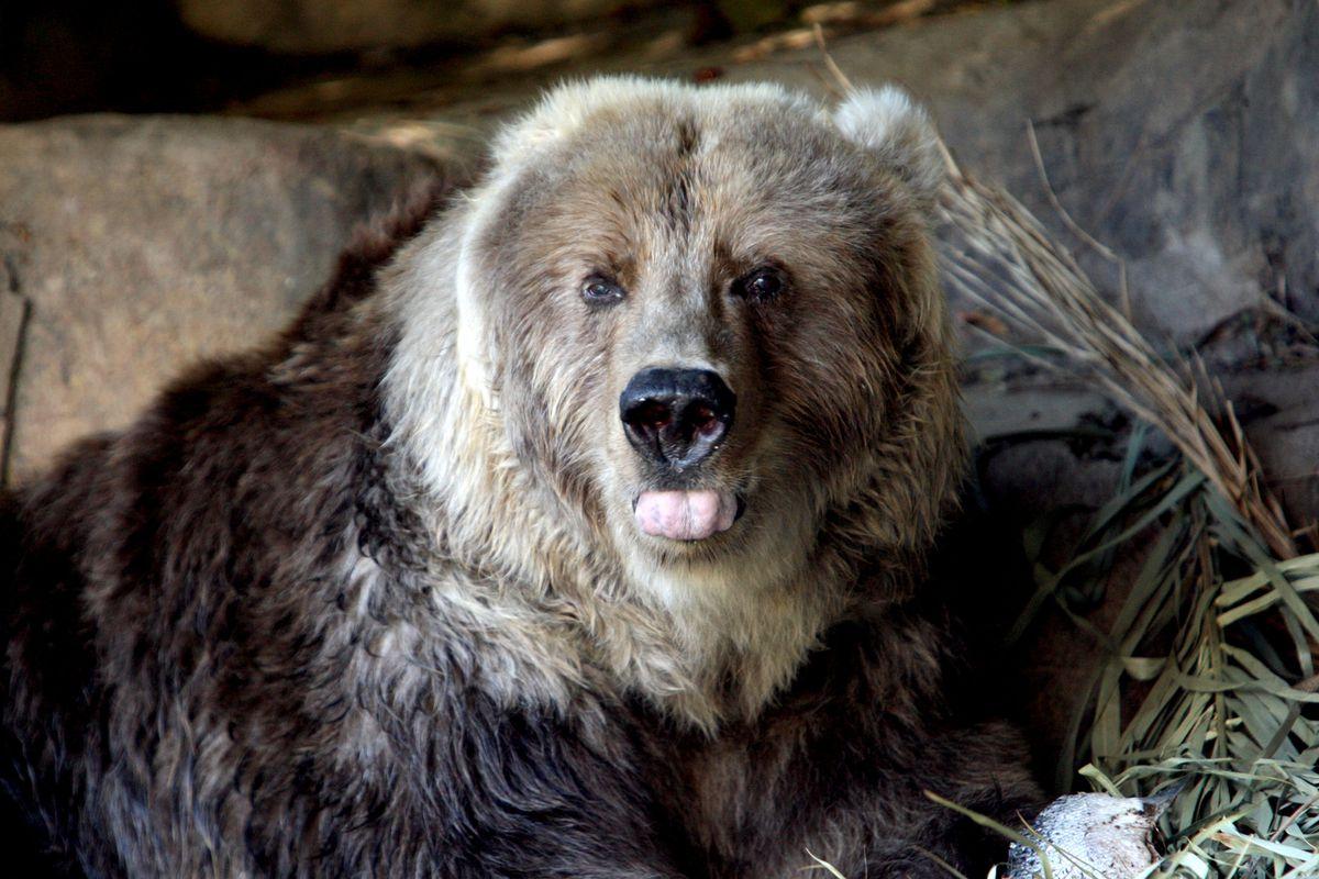 Kodiak Bear Celebrates Birthday At Taronga Zoo