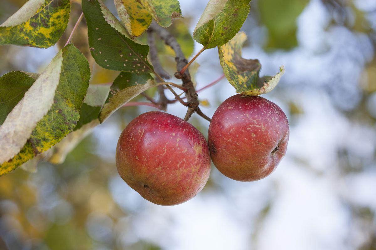 Virtue_apples