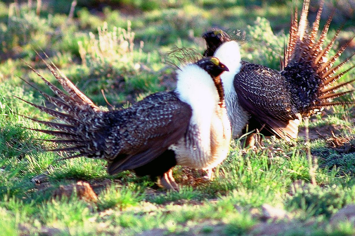 Congress blocked potential protections for this strange-looking bird, the greater sage grouse, in its spending bill.