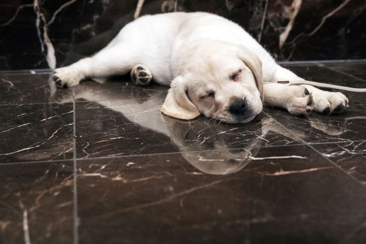An 8-week old Labrador retriever, takes a nap during a news conference at the American Kennel Club headquarters in New York in 2018.