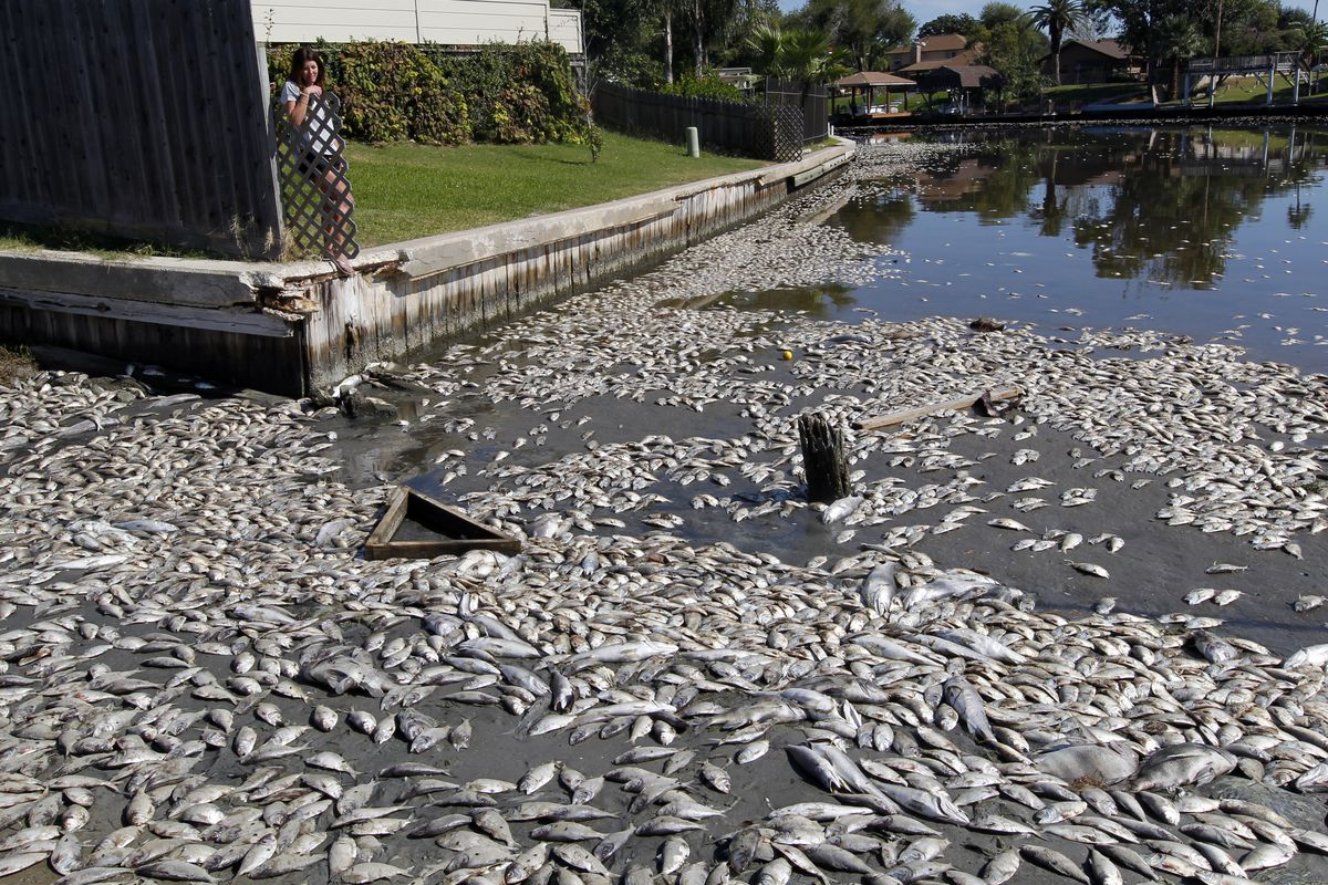 In this Tuesday, Oct. 30, 2012, file photo, Kim Bertini looks over some of the 15,000 dead fish that washed up near her backyard on Lake Madeline in Galveston, Texas.