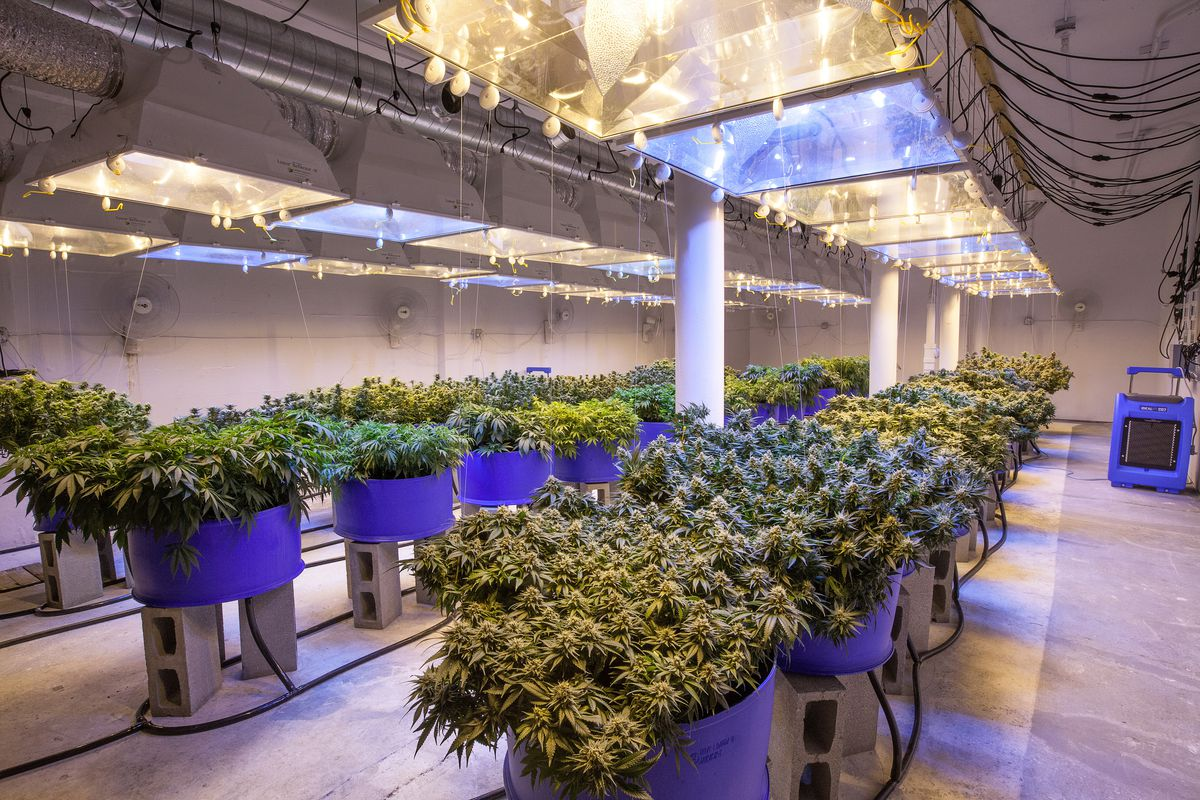 Marijuana growing in a commercial farm.