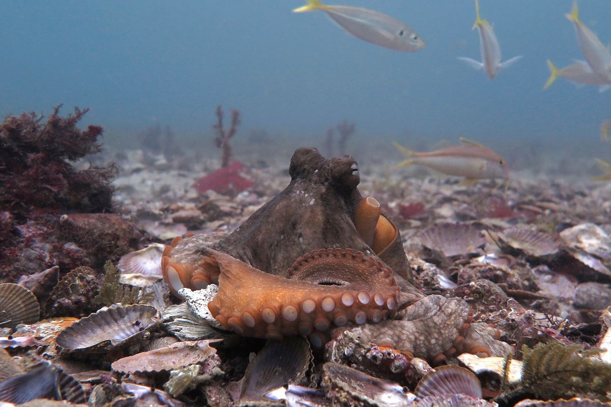 A common Sydney octopus, also known as the gloomy octopus, sits on the shell-covered ocean floor.