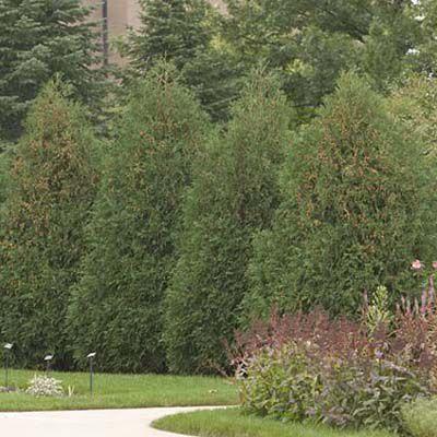 Techny Arborvitae For Evergreen Privacy