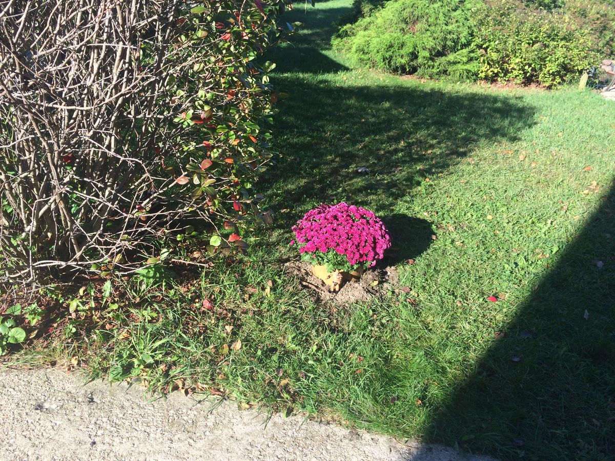 Mums planted on the spot where Tyjuan Poindexter died near Isaac Monroe's Kenwood home. Supplied photo.