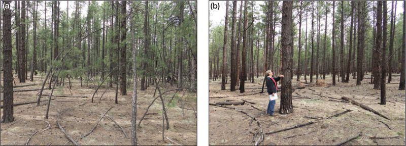 A comparison of ponderosa pine forests with and without prescribed burns.
