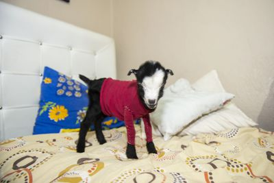 Abandoned baby goat becomes a mascot of a foster family
