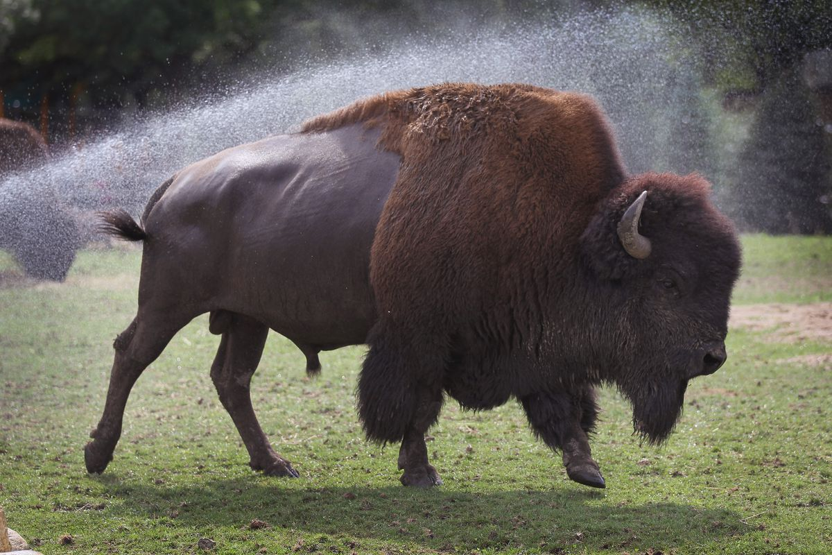 Animals At In The Brookfield Zoo Try To Beat The Summer Heat