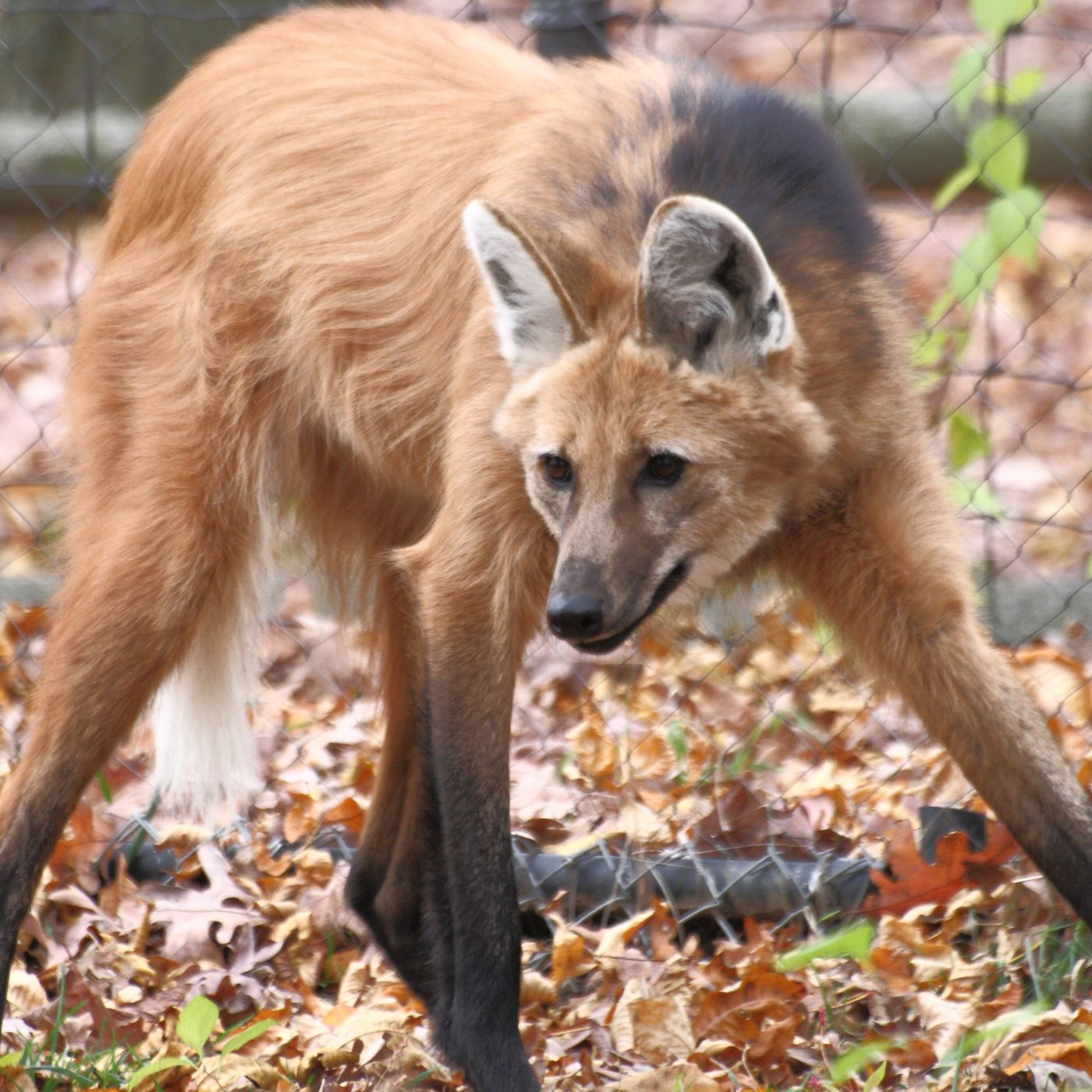 Verge Review Of Animals The Maned Wolf