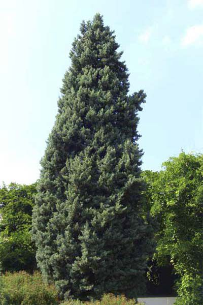 Smooth Cypress Tree For Evergreen Privacy