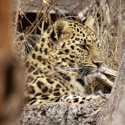 Zeya, an Amur leopard, is pictured in March 2016. Zeya briefly escaped from her enclosure at Hogle Zoo on Tuesday, June 7, 2016, was tranquilized and recaptured just outside the enclosure.