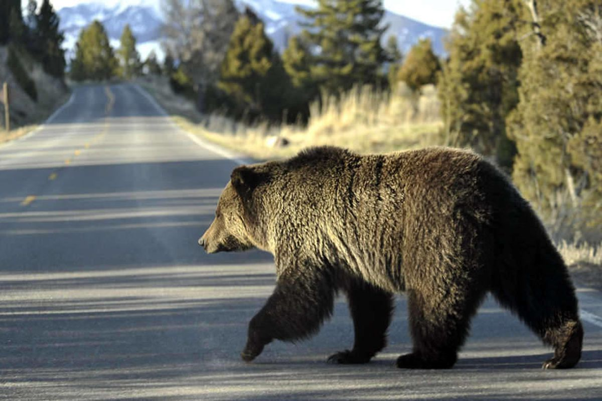 In this May 4, 2009 file photo, a grizzly bear walks across a road near Mammoth, Wyo., in Yellowstone Park.