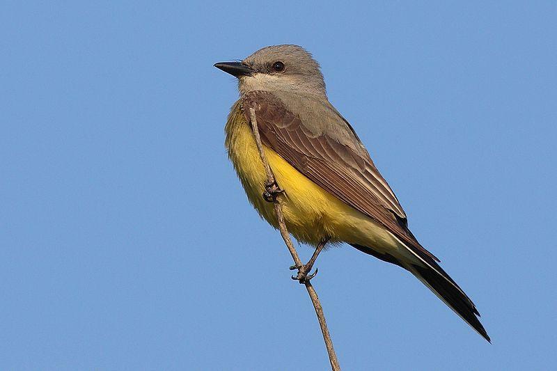 Western Kingbird in Kansas
