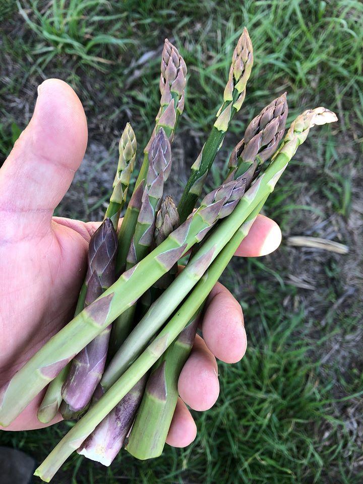 Early wild asparagus picked by Ken Gortowski. Provided by Ken Gortowski