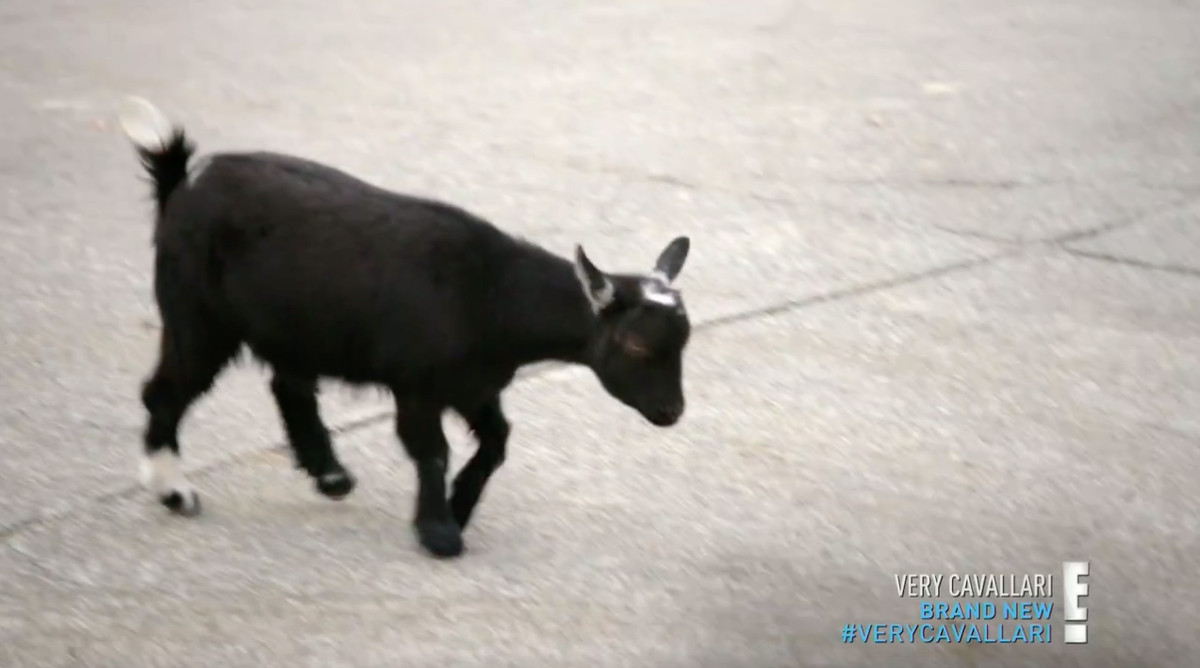 Pepper, a black goat with white patches on its tail, hind right foot, and head