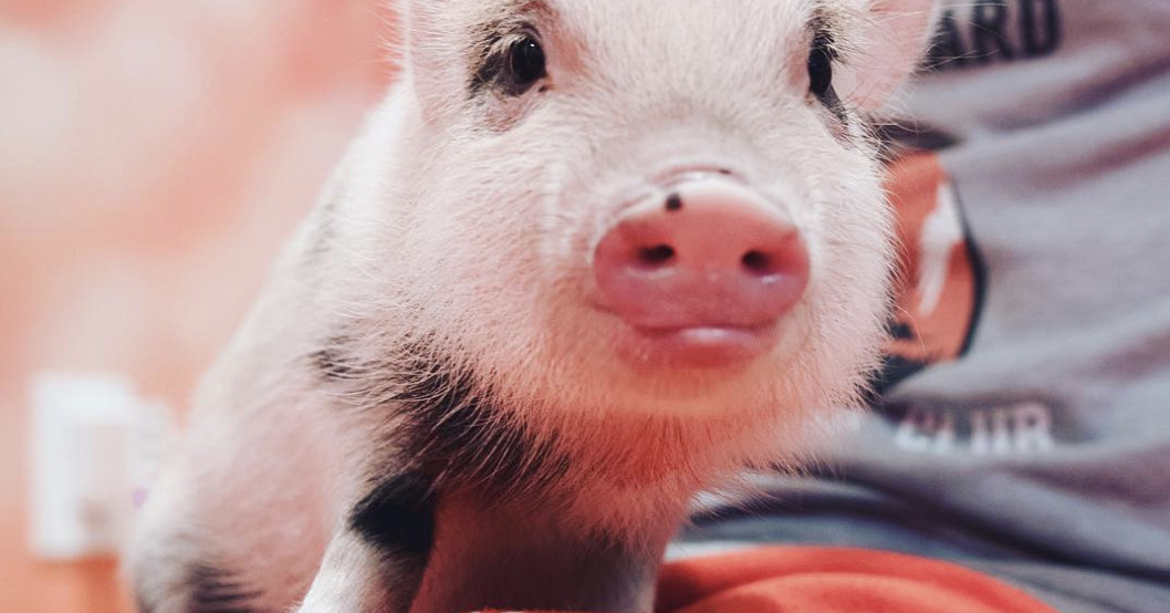 Teacup pigs are popular on YouTube and Instagram once again, but be warned