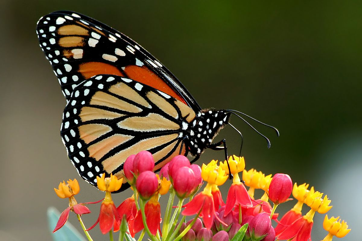 A Monarch butterfly on Red Tropical Milkweed at the Grapevine Botanical Gardens on October 19, 2008.