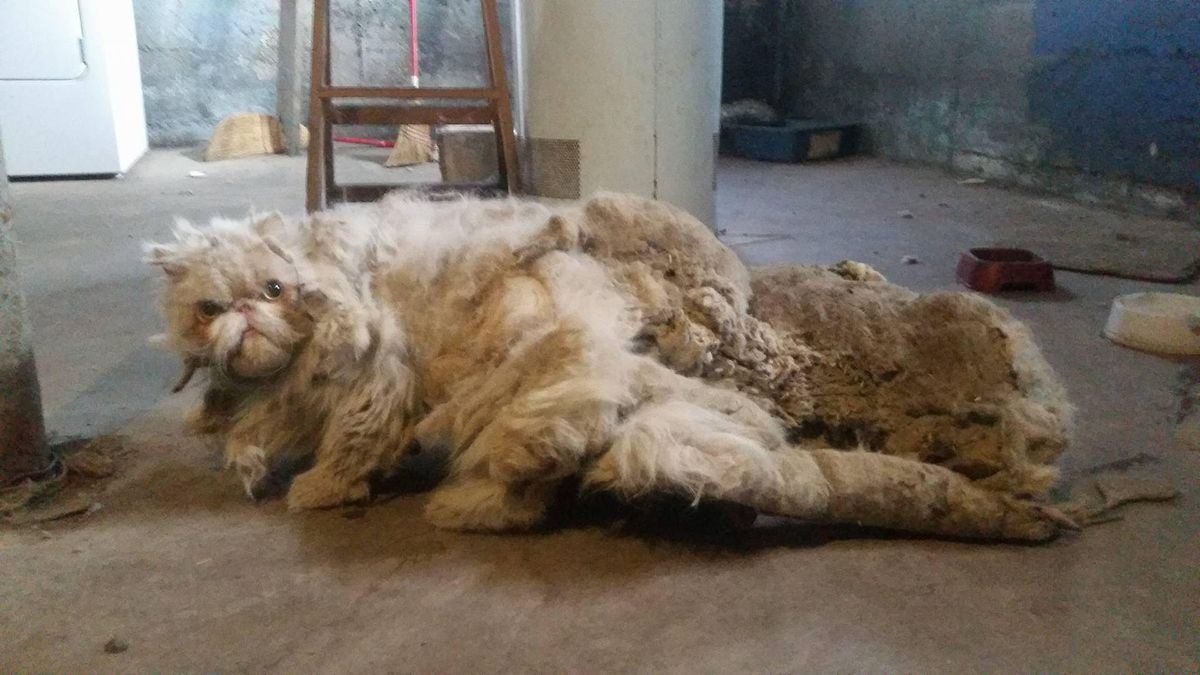 """Sinbad looked like he was """"dragging a carpet"""" when Bill Caprio rescued the cat in 2016. After losing five pounds of matted fur during a haircut, he rubbed up against people with affection. His legs strengthened, he gained weight, and he was adopted. 