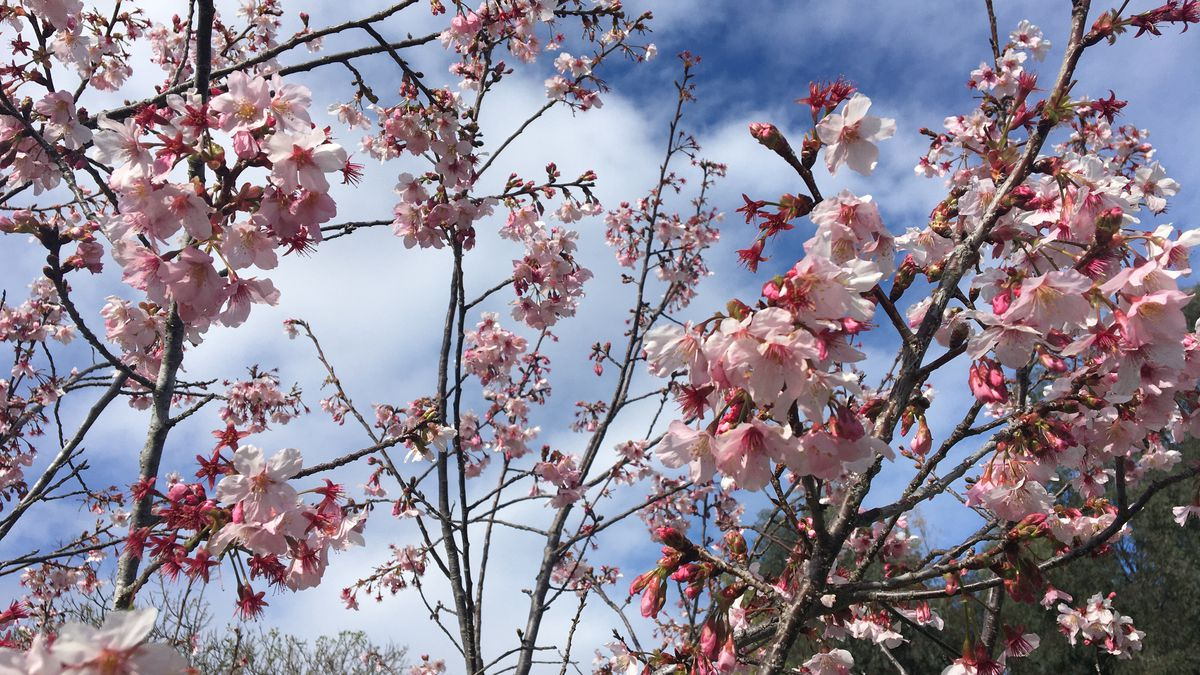 Before Coronavirus Quarantine I Looked For Cherry Blossoms Vox