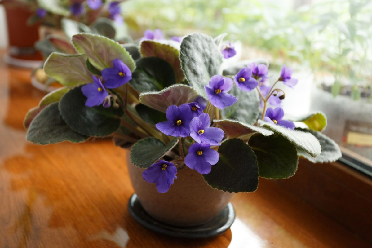 An African Violet in a small pot on a window sill.